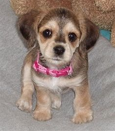 OMG It's a Corkie (cocker spaniel / yorkie mix) I WANT ONE!!!