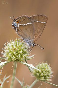 [*- Mariposa Mancha Azul, Satyrium spini.]