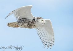 Snowy Owl at Island Beach State Park, NJ by Harry Collins Photography