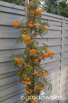 Sorbus Autumn Spire In Summer This Is An Upright Small Tree And Fine A Half Barrel For Say 5 Or 6 Years