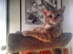 """A cat who is almost certainly about to start a sentence with the phrase, """"I don't always sit on cat trees …"""""""
