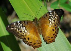 Butterflies of New Guinea: The Cruiser female butterfly (Vindula arsinoe)