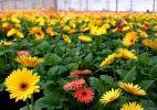 Conhecida como Cidade das Flores, Holambra surpreende pela tranquilidade