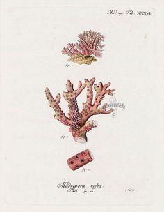 Antique Coral Prints from Esper 1791