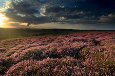 Heather on North York Moors