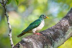 Jambu Fruit Dove (Juvenile) #Jambu #dove #bird #nature #wildlife #green #animal #nikon #photography #d750 #garden #telephoto