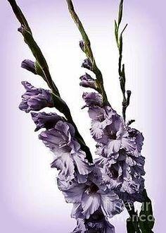 Decorative mauve gladiolus