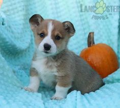 #WelshCorgi #Pembroke #Charming #PinterestPuppies #PuppiesOfPinterest #Puppy #Puppies #Pups #Pup #Funloving #Sweet #PuppyLove #Cute #Cuddly #Adorable #ForTheLoveOfADog #MansBestFriend #Animals #Dog #Pet #Pets #ChildrenFriendly #PuppyandChildren #ChildandPuppy #LancasterPuppies www.LancasterPuppies.com Welsh Corgi Puppies, Pembroke Welsh Corgi, Little Puppies, Puppies For Sale, Baby Animals Super Cute, Lancaster Puppies, Mans Best Friend, Say Hello, Puppy Love