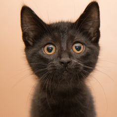 Shiro is an adoptable Domestic Short Hair Cat in Neenah, WI. Hi there friend! My name is Shiro! I am a jet black, ADORABLE little guy! I am quite charming too, I must say! I love attention and could s...