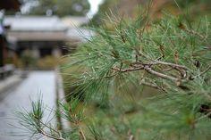 Pine tree, Chishakuin Temple, Kyoto / 智積院の松
