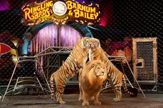 Counting the days until Ringling Bros. finally closes their doors...   This is actually something I started fighting for 20 years ago when, at 15, I led protests and did everything I could to end the cruelty. The circus even invited me backstage since I was the protest leader, trying to show me that the animals were treated humanely. All I saw was elephants chained to the floor and tigers in tiny cages where they were spending most of their sad lives.   It's pretty amazing to see that our…