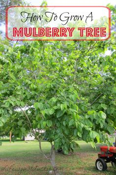 Grow Your Own Mulberry Tree - A wonderful plant for your garden. A great, fast growing shade tree. And buckets full of wonderful fruit too. Children love them. So do chickens, ducks and goats. A must for your homestead.