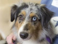 Adopt Drizzle, a lovely 6 years  5 months Dog available for adoption at Petango.com.  Drizzle is a Australian Shepherd, Miniature and is available at the National Mill Dog Rescue in Colorado Springs, Co.  www.milldogrescue.org #adoptdontshop  #puppymilldog   #rescue  #adoptyourfriendtoday