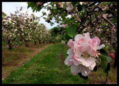 Apple blossoms in Winchester #winchester #virginia