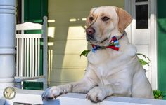 Getting ready for Easter with a bow tie!! Adorable photo shoot for 2 gorgeous Labradors...3 Shades of Dog & Its a Lab Thing