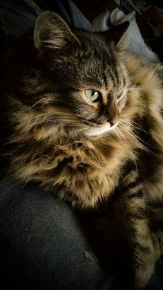 Maine Coon cat <3