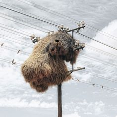 """Sociable weavers construct permanent nests on trees and other tall objects. These nests are the largest built by any bird, and are large enough to house over a hundred pairs of birds, containing several generations at a time. The nests consist of separate chambers, each of which is occupied by a pair (sometimes with offspring) roost and breed.  Picture: Dillon Marsh / Rex Features"""