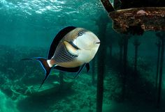 All sizes | Striped Surgeonfish, Acanthurus lineatus, Red Sea | Flickr - Photo Sharing!