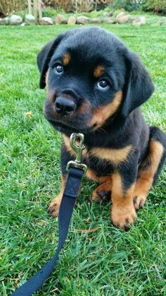 """Fantastic """"rottweiler puppies"""" info is available on our internet site. Read more and you wont be sorry you did. Cute Baby Dogs, Cute Little Puppies, Cute Dogs And Puppies, Cute Little Animals, Cute Funny Animals, Pet Dogs, Dog Cat, Chihuahua Dogs, Doggies"""