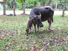 Our new born calf Kala. In FC Eco Camp.