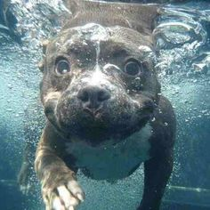 Staffy - Seth Casteel 'Underwater Dogs'