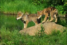 wolf pups exploring