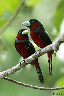 Red  Black Broadbill Pair