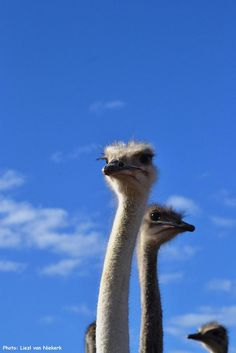 Did you know: The ostrich has the largest eye of any land animal. Learn more about the ostriches in Oudtshoorn, Kleinkaroo The Ostrich, Ostriches, Large Eyes, Nature Reserve, Natural Wonders, Big Cats, Ecology, Outdoor Activities, Diving