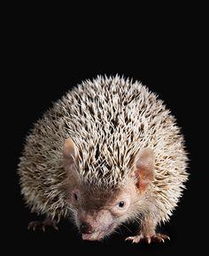 a Hedgehog Tenrec at Edinburgh zoo as part of my animal portraits project.