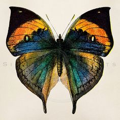 Butterfly Pictures to Print New Vintage butterfly Illustration Printable butterflies Vintage Butterfly, Butterfly Print, Blue Butterfly, Spiral Art, Butterfly Illustration, Butterfly Pictures, Digital Backdrops, Contemporary Photographers, Beautiful Butterflies