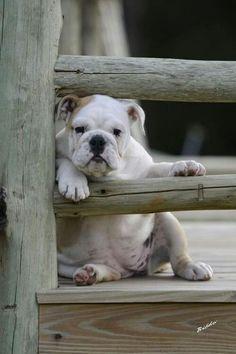 Most Inspiring English Bulldog Chubby Adorable Dog - ba3caaa1901f4d11c57206abc754e8cb--cute-bulldogs-baby-bulldogs  2018_435084  .jpg