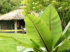 Caseta y mata de plátano en el Parque del Río Neusa, Cundinamarca.