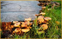 Tree trunk full of mushrooms  #autumn #theNetherlands #landscape #Holland #nature