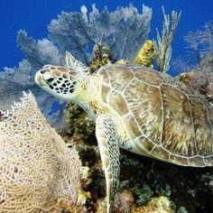 Diving Half Moon Caye Wall, the best dive site in Belize Belize Resorts, Belize Vacations, Belize Travel, Vacation Trips, Belize Honeymoon, Belize Barrier Reef, Belize Snorkeling, Carnival Dream Cruise, Costa Leste