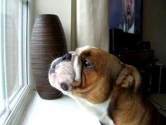 Musical Bulldog sings like the fourth Tenor (VIDEO) !