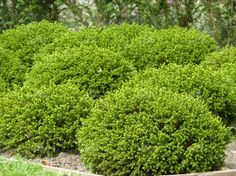 boxwood is one of the greatest shrubs to design with when it comes to modern cottage landscaping