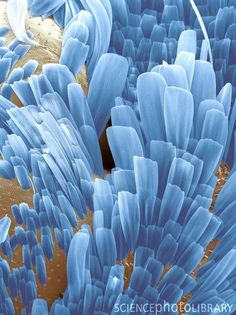 Moth wing scales. Coloured scanning electron micrograph (SEM) of scales (blue) on the wings of a common clothes moth (Tineola bisselliella). These delicate powdery scales are formed from tiny stacked modified hairs, or setae, made of chitin, a common substance in insect exoskeletons. The iridescence of the colours of a moth's wings is produced by the diffraction of light by the microscopic ridges on these scales.