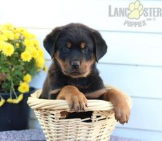 #Rottweiler #Charming #PinterestPuppies #PuppiesOfPinterest #Puppy #Puppies #Pups #Pup #Funloving #Sweet #PuppyLove #Cute #Cuddly #Adorable #ForTheLoveOfADog #MansBestFriend #Animals #Dog #Pet #Pets #ChildrenFriendly #PuppyandChildren #ChildandPuppy #LancasterPuppies www.LancasterPuppies.com Lancaster Puppies, Rottweiler Puppies, Fun Loving, Puppies For Sale, Mans Best Friend, Puppy Love, Labrador Retriever, Pets, Children