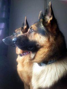 photo from The German Shepherd Dog Community