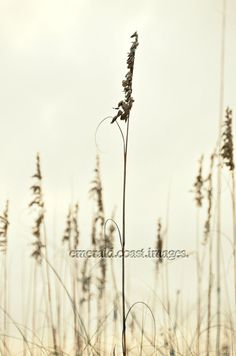 Sea Oats in Sepia 16x24 Metallic Print by EmeraldCoastImages, $50.00