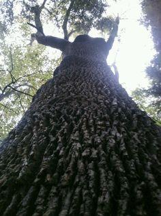 My backyard~black walnut tree