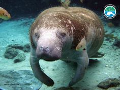 Save the Manatee Club posted this to wish you all a Hippie Weekend. Do enjpy. Need You, Beautiful Day, Mammals, Old Things, Cute Animals, Wildlife, Creatures, Manatees, Cats