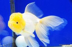 White Oranda 7 inches » DandyOrandas.com