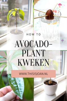 Do you want to grow your own avocado plant from seed? You learn it step by step in this tutorial! Check it out now. Avocado Plant From Seed, Green Life, Grow Your Own, Potted Plants, Seeds, Learning, English, Science, Check