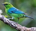 Dotted Tanager, Tangara varia: northern S Amer