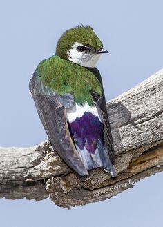 Tachycineta thalassina - nadobniczka białoskrzydła - Violet-green Swallow