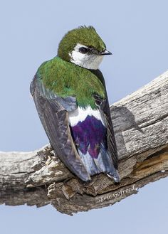 ☀Violet-green Swallow