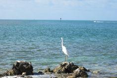 A White Heron on the rocks.