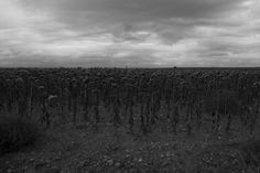 "https://flic.kr/p/EgVTwv | ""Viaje a través de la naturaleza 4697 Campo de Girasoles Castilla-Leon"" / Bernardo Guerra"