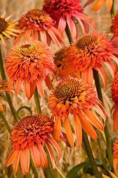 I want.....I am so loving the new cultivars of echinacea that are being introduced.